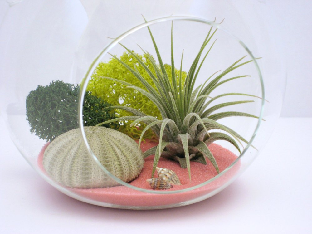 Air plant terrarium in glass vase